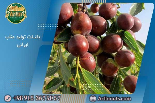 باغات تولید عناب ایرانی