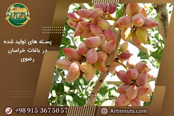 پسته های تولید شده در باغات خراسان رضوی