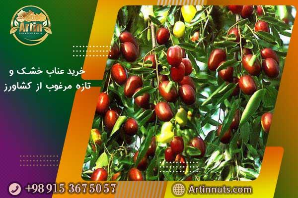 خرید عناب خشک و تازه مرغوب از کشاورز