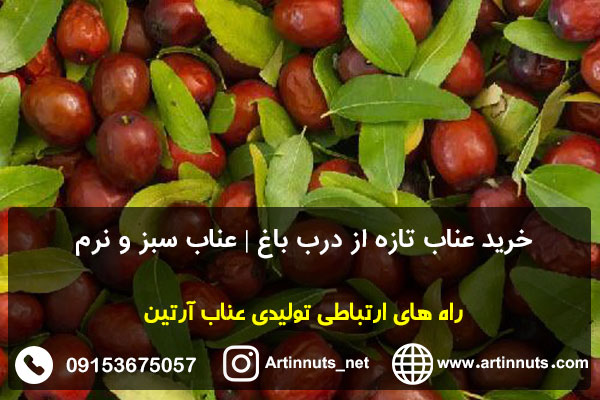خرید عناب تازه از درب باغ   عناب سبز و نرم