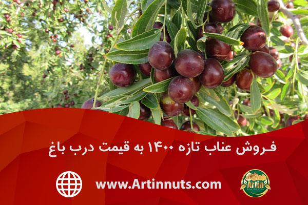 فروش عناب تازه ۱۴۰۰ به قیمت درب باغ