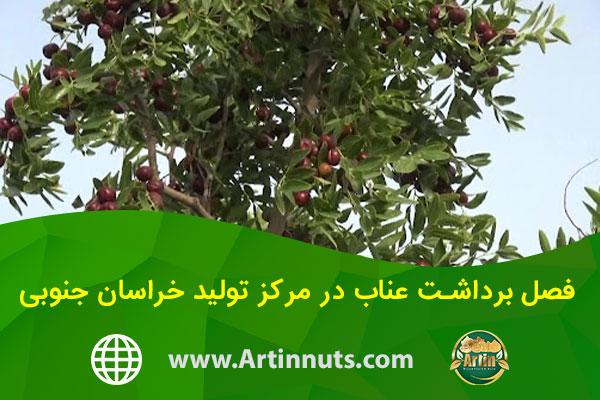 فصل برداشت عناب در مرکز تولید خراسان جنوبی